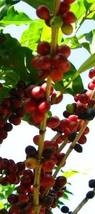 Remedios caseros con café