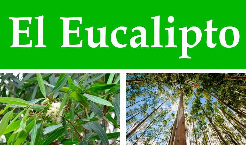 Recetas con eucalipto